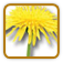 How to Grow Dandelion | Guide to Growing Dandelion
