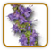 How to Grow Hyssop | Guide to Growing Hyssop