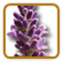 How to Grow Lavender | Guide to Growing Lavender
