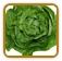 How to Grow Lettuce | Guide to Growing Lettuce