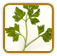 Guide to Growing Parsley
