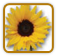 How to Grow Sunflower | Guide to Growing Sunflower