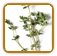 How to Grow Thyme | Guide to Growing Thyme